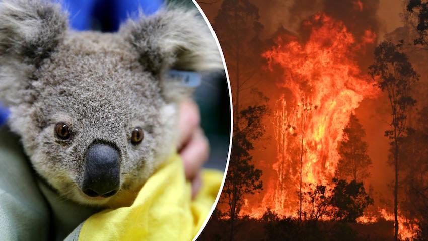 Những chú gấu koala được thả về tự nhiên sau cuộc giải cứu từ thảm họa cháy rừng ở Úc