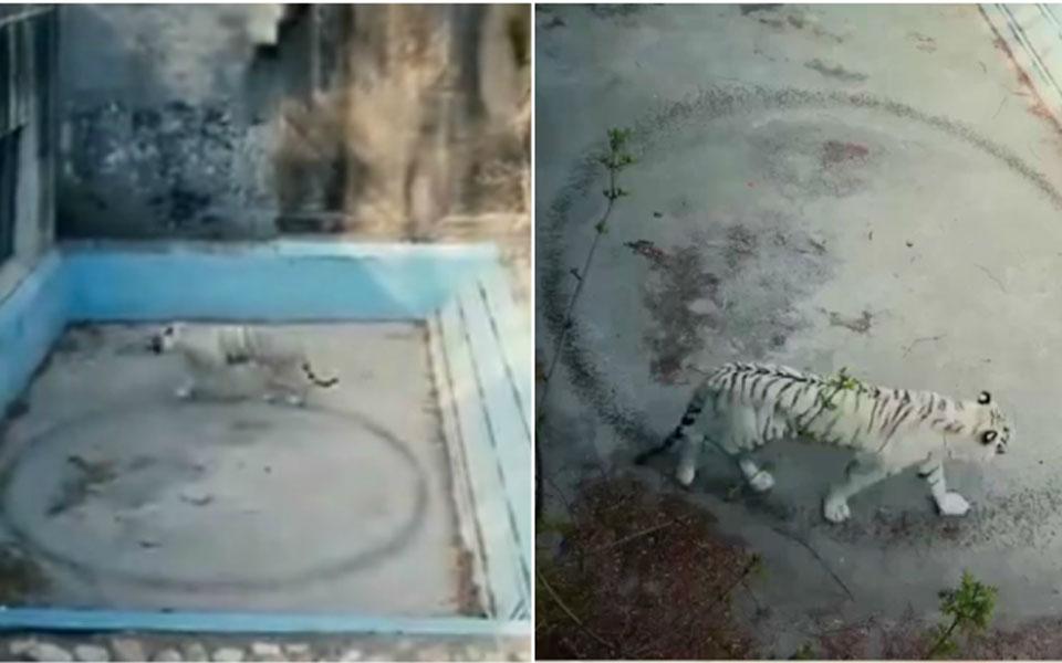 Chú hổ tội nghiệp mắc chứng trầm cảm tại vườn thú Bắc Kinh