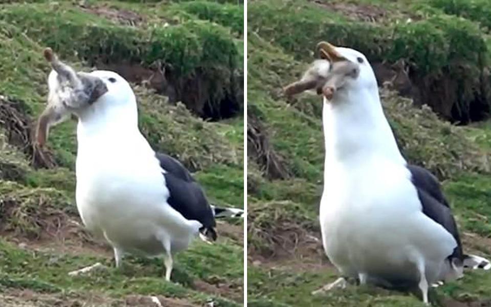 Thiên nhiên đáng sợ: Chim mòng biển nuốt chửng nguyên con thỏ
