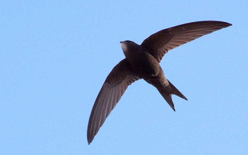 Loài chim sinh ra để bay lượn, có thể bay liên tục 10 tháng mà không hạ cánh