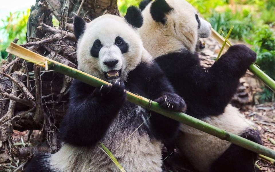 Canada trả gấu trúc hữu nghị về Trung Quốc vì thiếu thức ăn do dịch bệnh