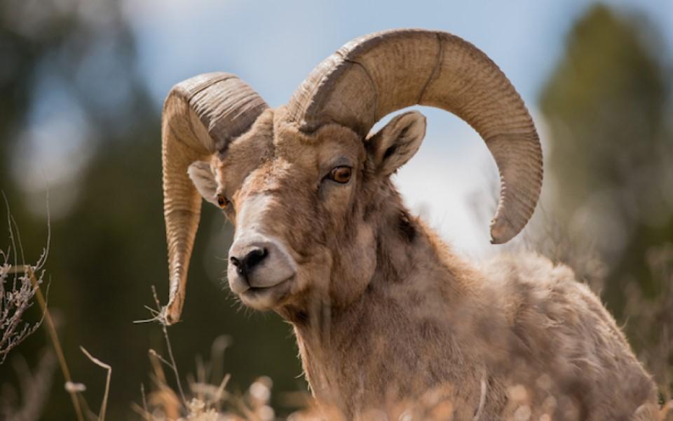 Biểu tượng 12 cung Hoàng Đạo (Kỳ 1): 'The Ram' - Cừu đực lông vàng của Bạch Dương