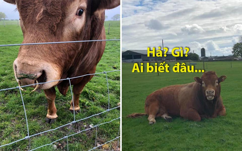 Chú bò vô tư dựa cột điện gãi mông khiến hơn 800 căn nhà tại Scotland lâm vào cảnh 'chị Dậu'