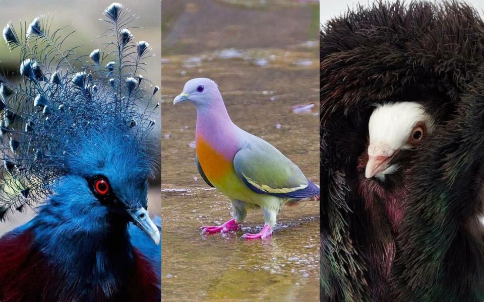 Vẻ đẹp chói lóa của những loài bồ câu ăn diện, chuẩn 'fashionista' trong giới chim cò