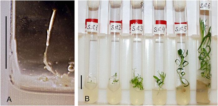 Các nhà khoa học thành công trồng được chậu hoa từ hạt giống 32.000 năm tuổi