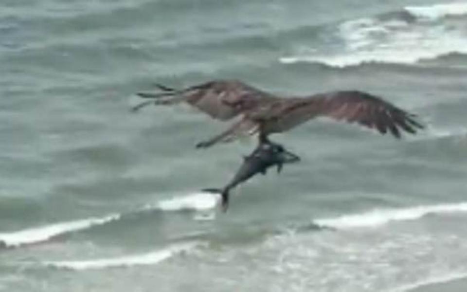 Thiên nhiên đáng sợ: Hết hồn cảnh chim săn mồi quắp theo con cá khổng lồ bay qua bãi biển