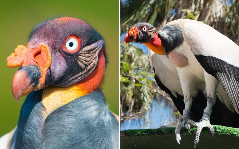 Chiêm ngưỡng vẻ ngoài siêu sang chảnh của kền kền - loài chim 'ăn xác thối' bị cả thế giới ghê sợ
