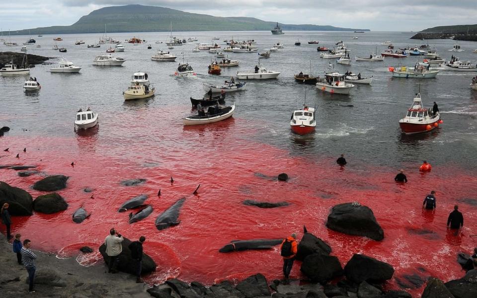 Quần đảo Faroe nhuốm máu 250 con cá voi trong lễ hội săn bắt thường niên