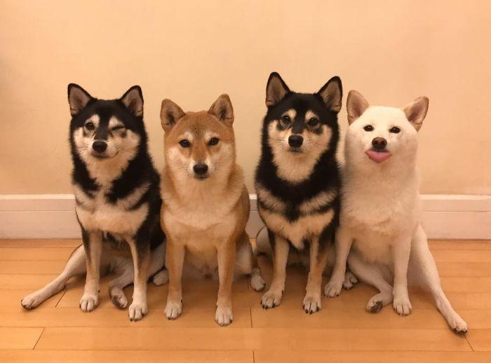Chú chó Shiba Inu nổi tiếng khắp thế giới vì trình 'phá game' khi chụp ảnh cùng hội bạn