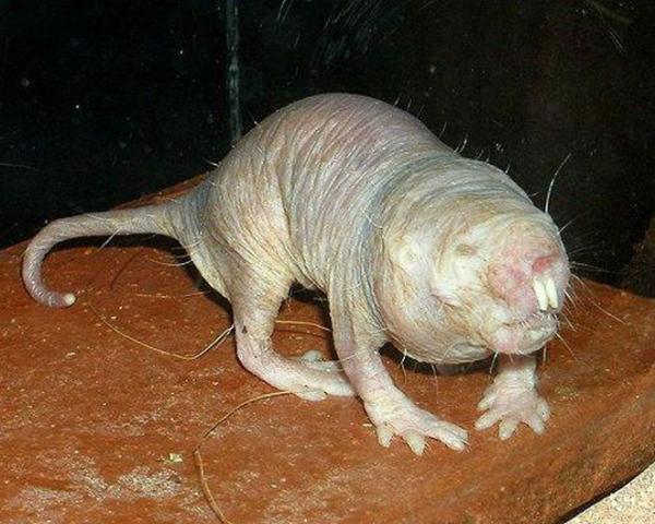 rato mais feio do mundo