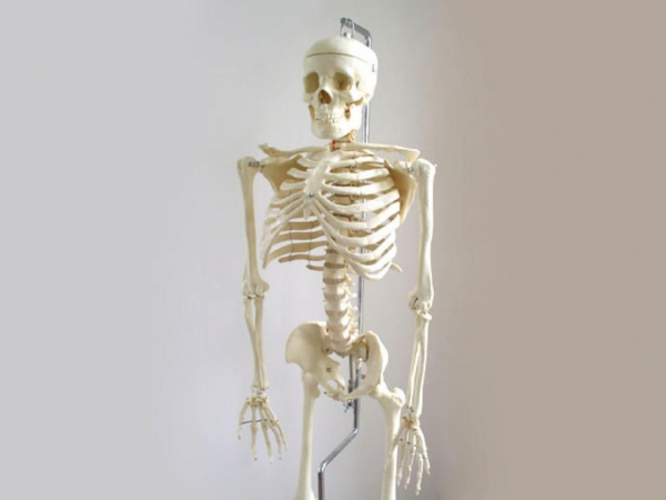 skeleton anatomy model with stand1