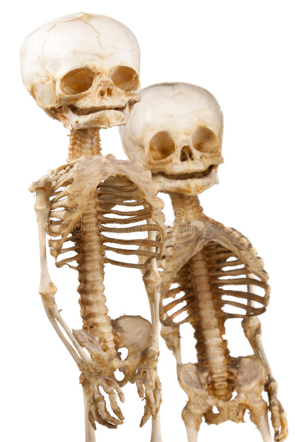 two human medical skeleton 18552903