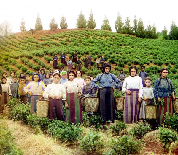 Những người phụ nữ Hy Lạp đang thu hoạch trà ở một đồn điền tại Georgia, ngày nay nơi này là một quốc gia độc lập tại vùng Tây Nam Á. Hình ảnh được chụp vào năm 1910.