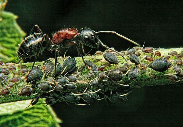ant aphids 5910c85d5f9b586470279349
