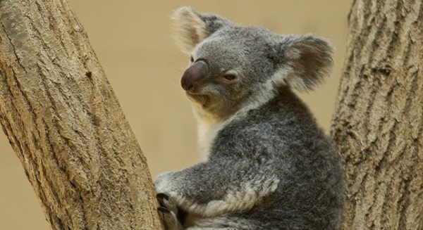 nhung thong tin nhat dinh phai biet ve loai gau tui koala