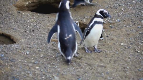mr penguin homewrecking penguin