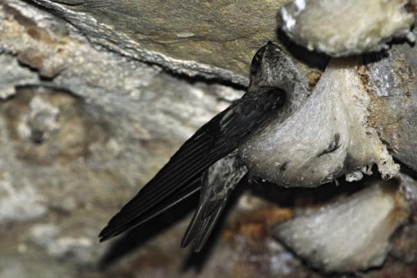 edible nest swiftlet1