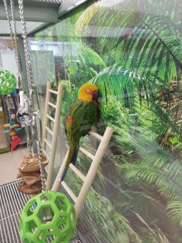 homesick parrot