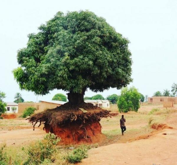 tanzanian tree