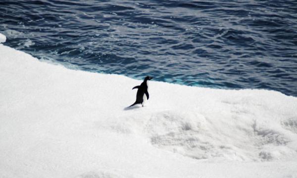 adelie penguin sea ice edge
