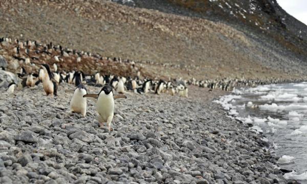 adelie penguins beach 1