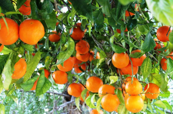 growing orange trees commercially