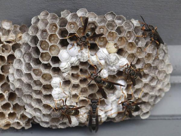 8 7 13 paper wasp nest 011