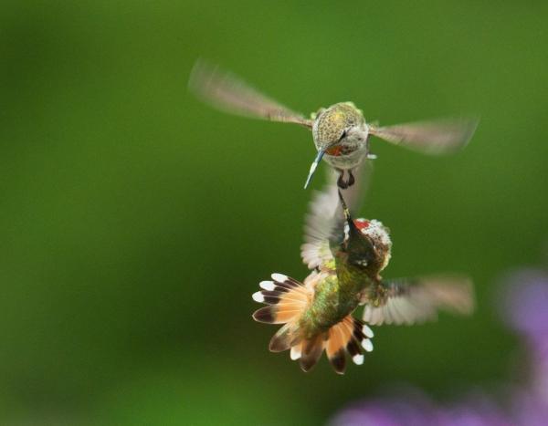 Những con chim ruồi nhỏ bé không chỉ đập tim đến 1.200 nhịp mỗi phút, mà chúng còn có thể đập cánh đến 52 lần mỗi phút, điều này khiến chúng cần nhiều năng lượng để duy trì hoạt động cơ thể. Ảnh: Sarah C. – National Geographic Your Shot.