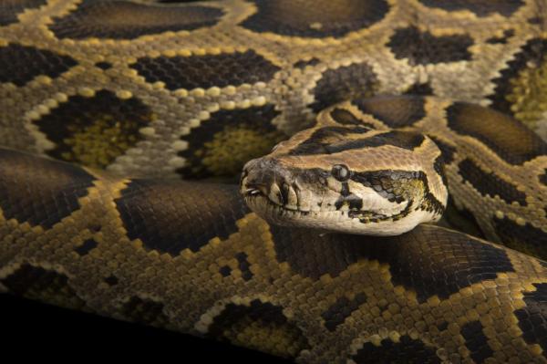 Python bivittatus progschai hay Trăn khổng lồ Miến Điện, có thể nuốt chửng một con thú to xác và tiêu hóa dần trong suốt một tháng sau đó. Ảnh: Joel Sartore, National Geographic Photo Ark.