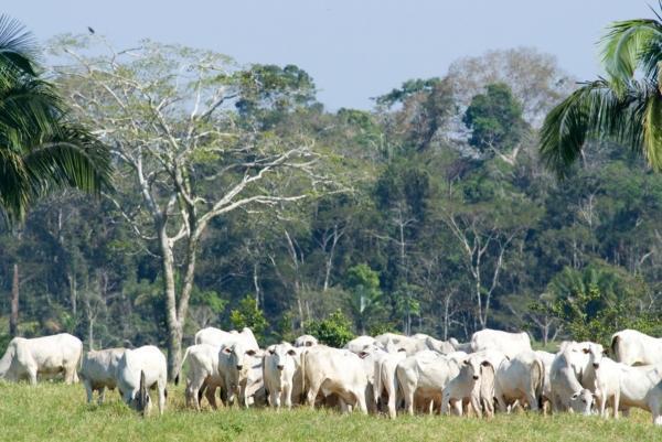 brazil rainforest cattlejpg