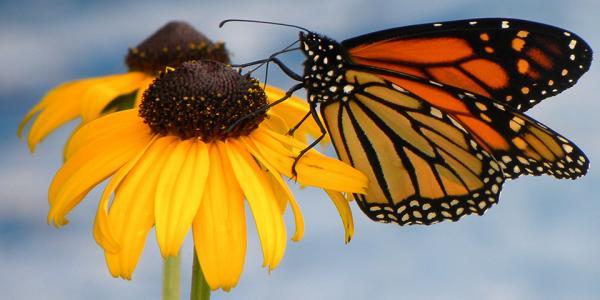 monarch butterfly jane murphy