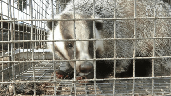 badgers in tiny cages 3 1