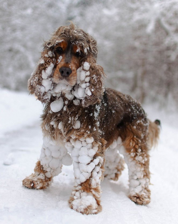 animals and first snow spaniel1