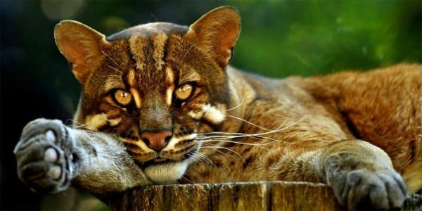 asian golden cat1