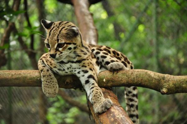 margay cat photo relax tree