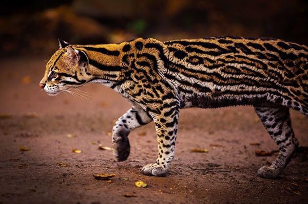 unusual wild cats 35 880