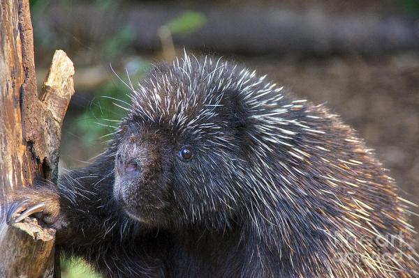 north american porcupine sean griffin