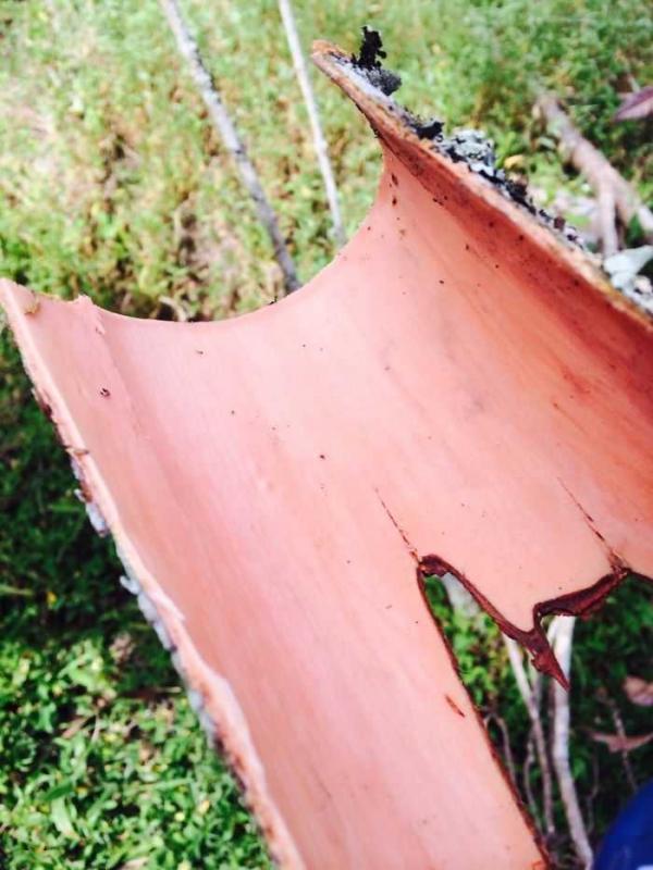 bark of a cinnamon cut freshly from a tree
