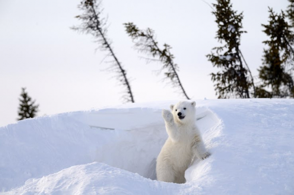 waving polar bear