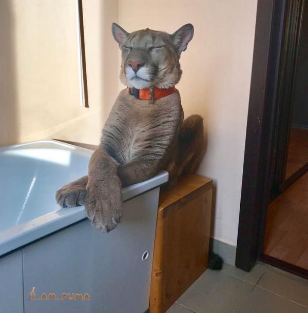 zoo rescued puma house cat messi russia 12