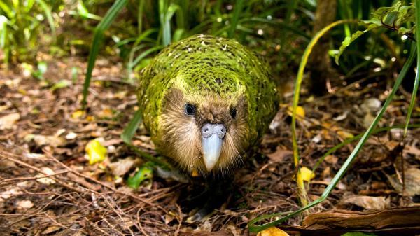 lost bird vet kakapo 3