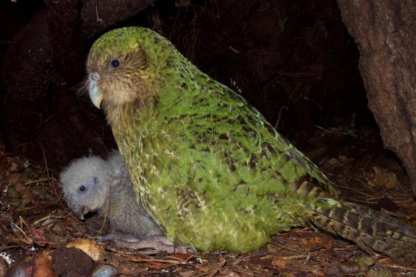 lost bird vet kakapo 4