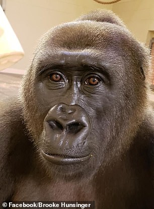 13411452 7020969 another gorilla m 87 1557689793072