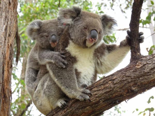 lost bird koala tuyet chung 13