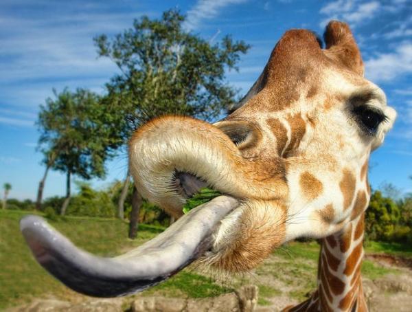 55d2d27b619613130b9544796544b8eb giraffe tongue giraffe pictures 1516045023922