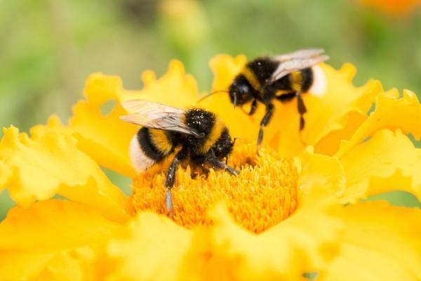 bee stock