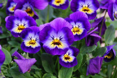 viola flowers 1084983 1920 5894c5563df78caebce06cfc