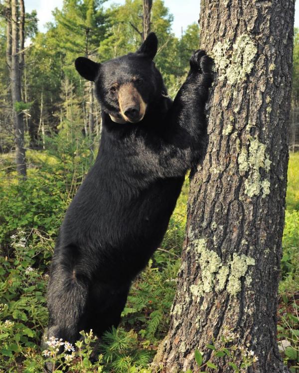 bear by pine