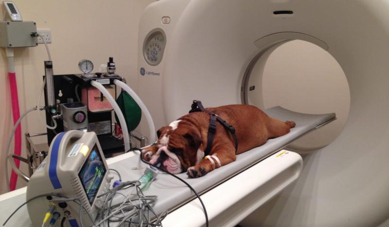 ct scan for bulldog 1200x700