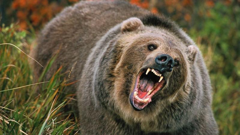 gty grizzly bear jt 130818 16x9 992